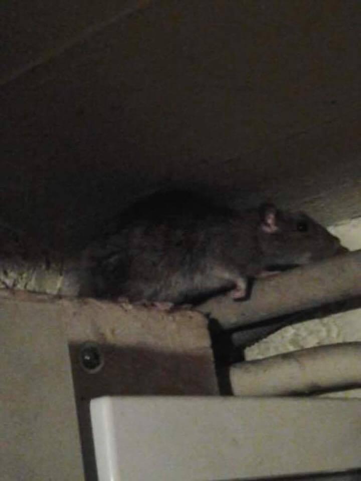 invasion des souris et des rats dans certaines rues d anderlecht. Black Bedroom Furniture Sets. Home Design Ideas