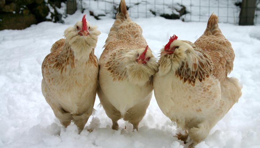 P tition pour le droit des poules urbaines en zone - Image de la poule ...